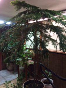 3 Keys to a Healthy Norfolk Island Pine Norfolk Pine House Plant Hardiness on norfolk pine plant, norfolk pine growth rate, norfolk pine care, norfolk pine watering,