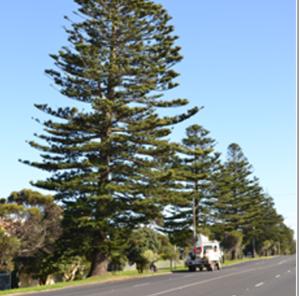 3 Keys to a Healthy Norfolk Island Pine Spidar Plant Norfolk Pine House on