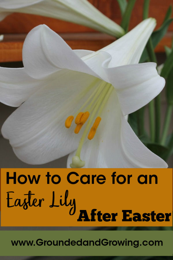How To Care For An Easter Lily After Easter